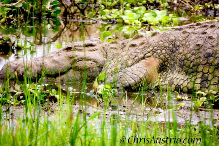 Crocodlie_Rwanda