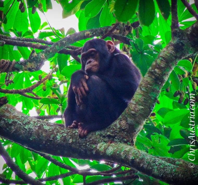 Nyugwe Chimp