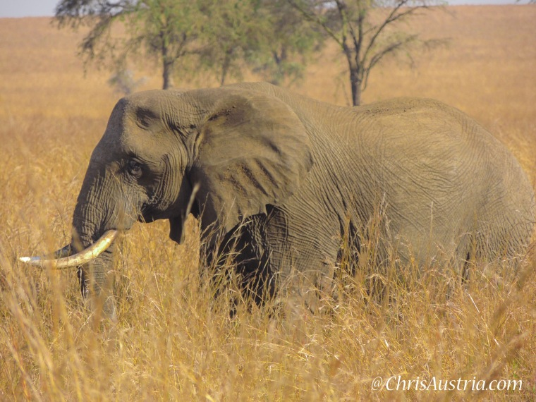 Elephant_Kidepo.jpg