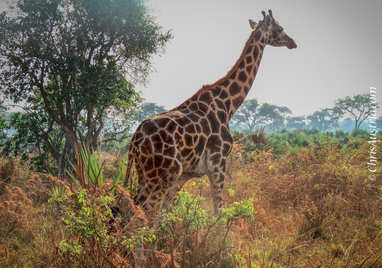 Giraffe_Uganda_Murchison