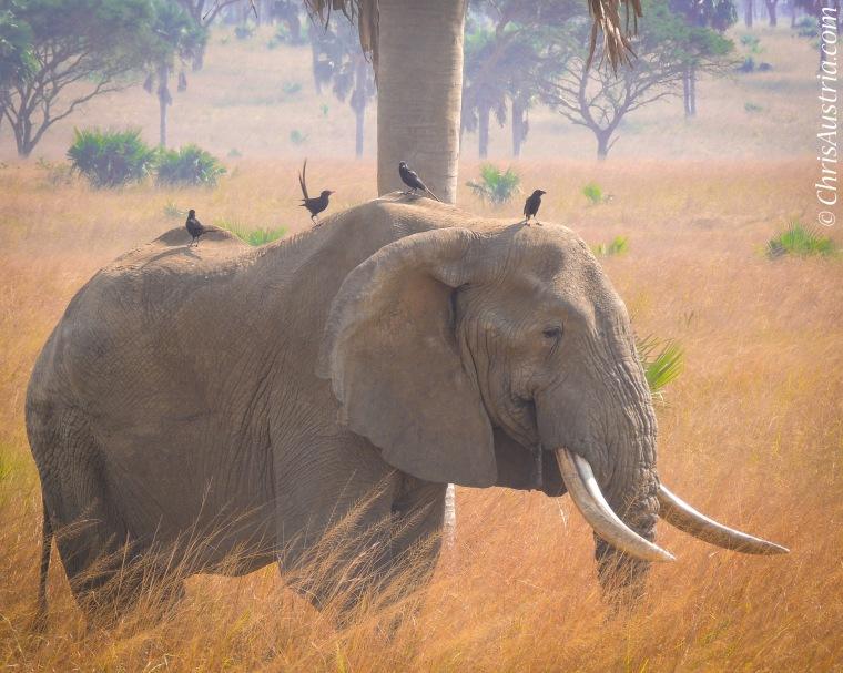 Murchison_elephant.jpg