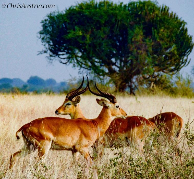 Ugandan_Kob_2_Horns 2