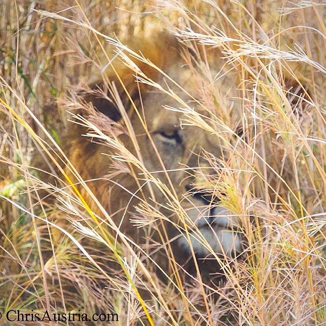 Lion_Kidepo