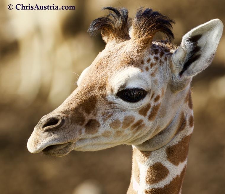 Giraffe_SafariWest