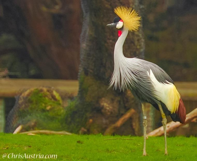 crown_crane