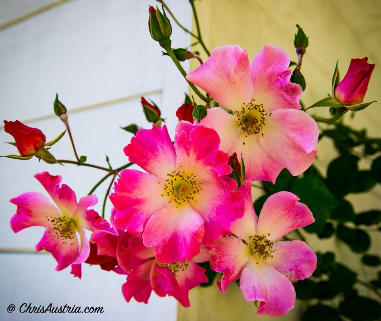 Grandma_Bunch_Roses_ByHouse-2