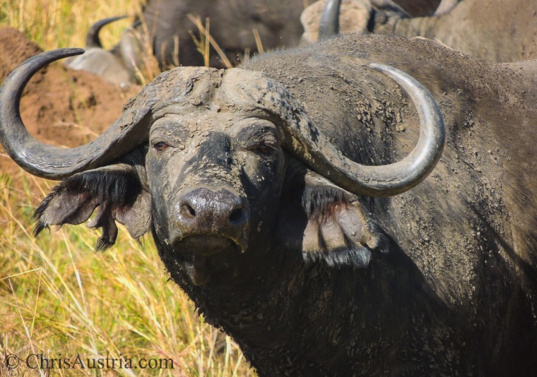 Kidpeo_Buffalo