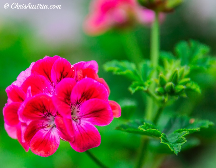 Mom_Geranium_GreenLeaves