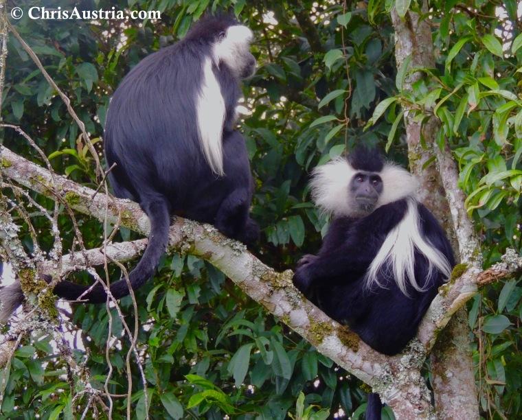 Colobus Monkeys_Rwanda