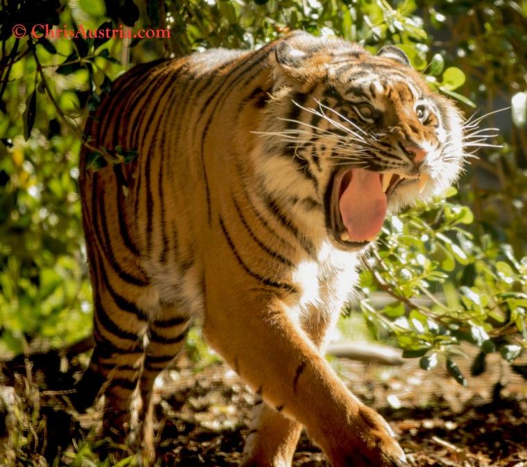 Tiger_Yawn_SFZoo-