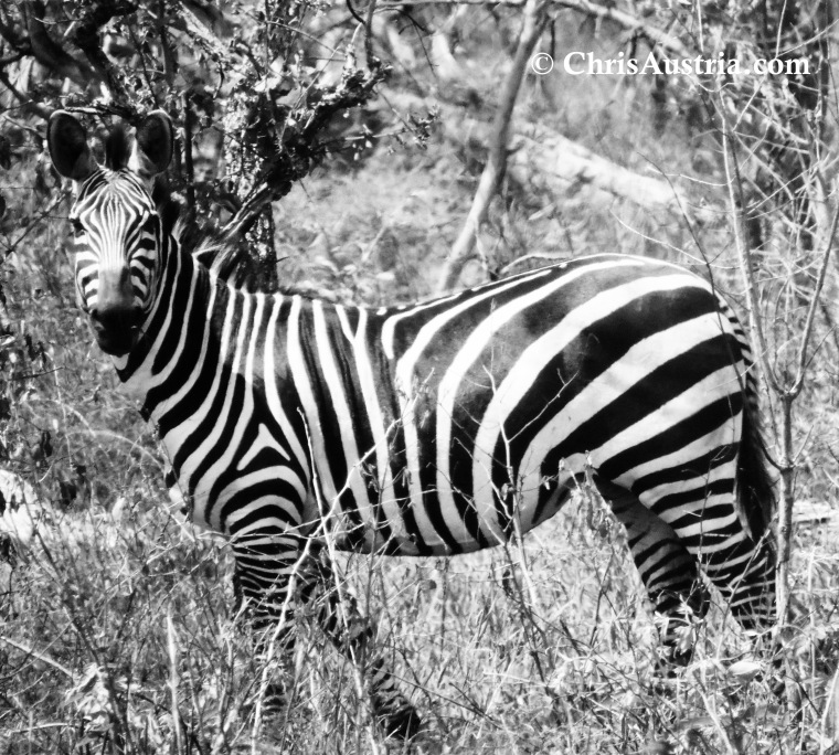 Zebra_Akagera_Blk_Wht