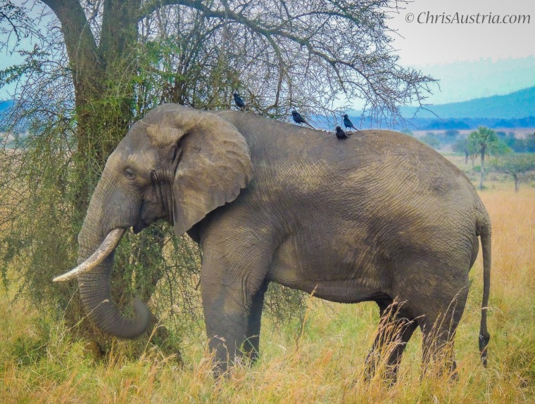 Kidepo_elephant.jpg