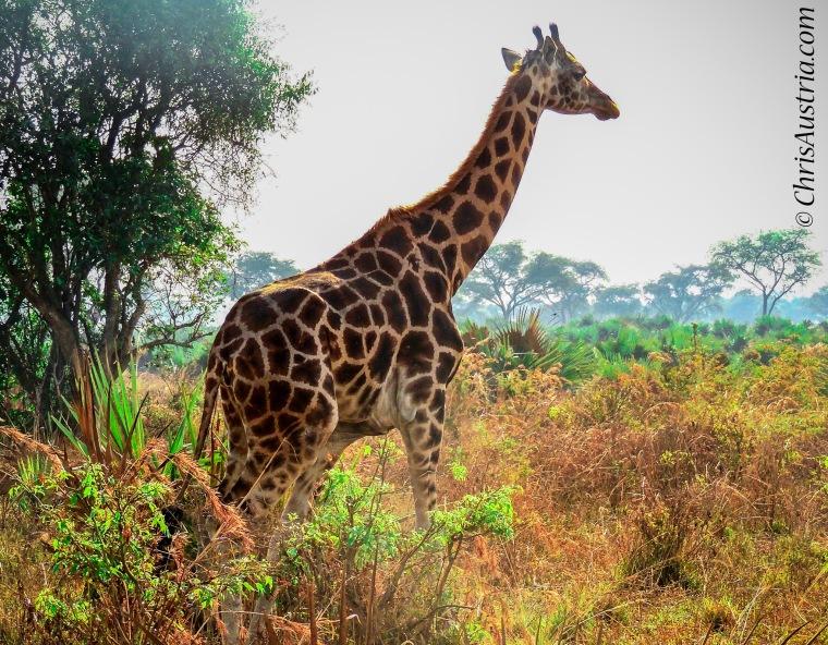 giraffe_uganda-2