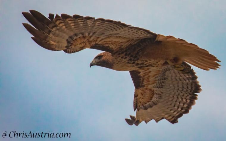 Hawk_Chase.jpg
