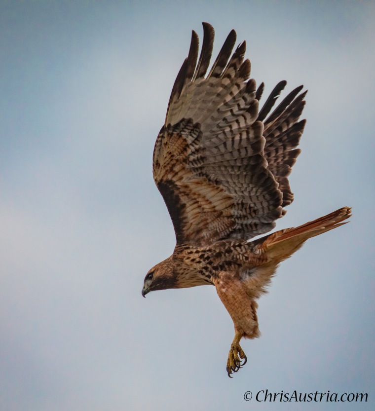 Red Tailed Hawk In Flight Chris Austria