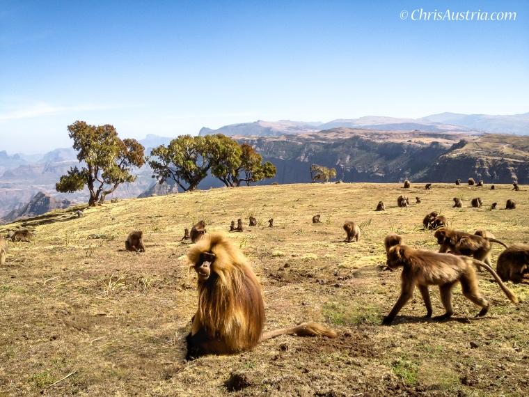 Ethiopia_Simien_Gelada_WM