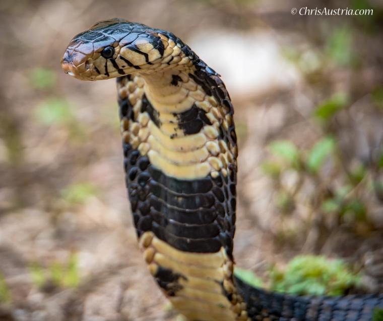Cobra_Viper_WM