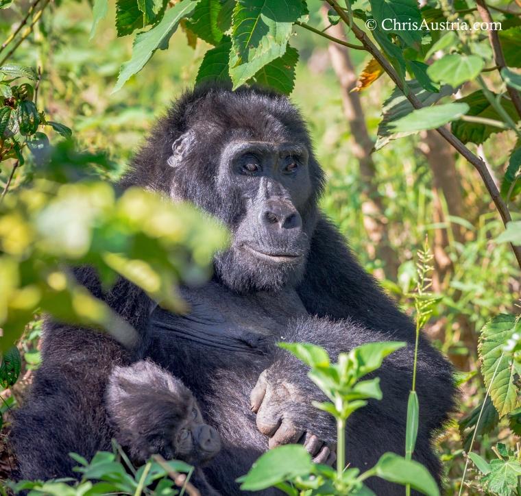 Gorilla_Baby_Mom