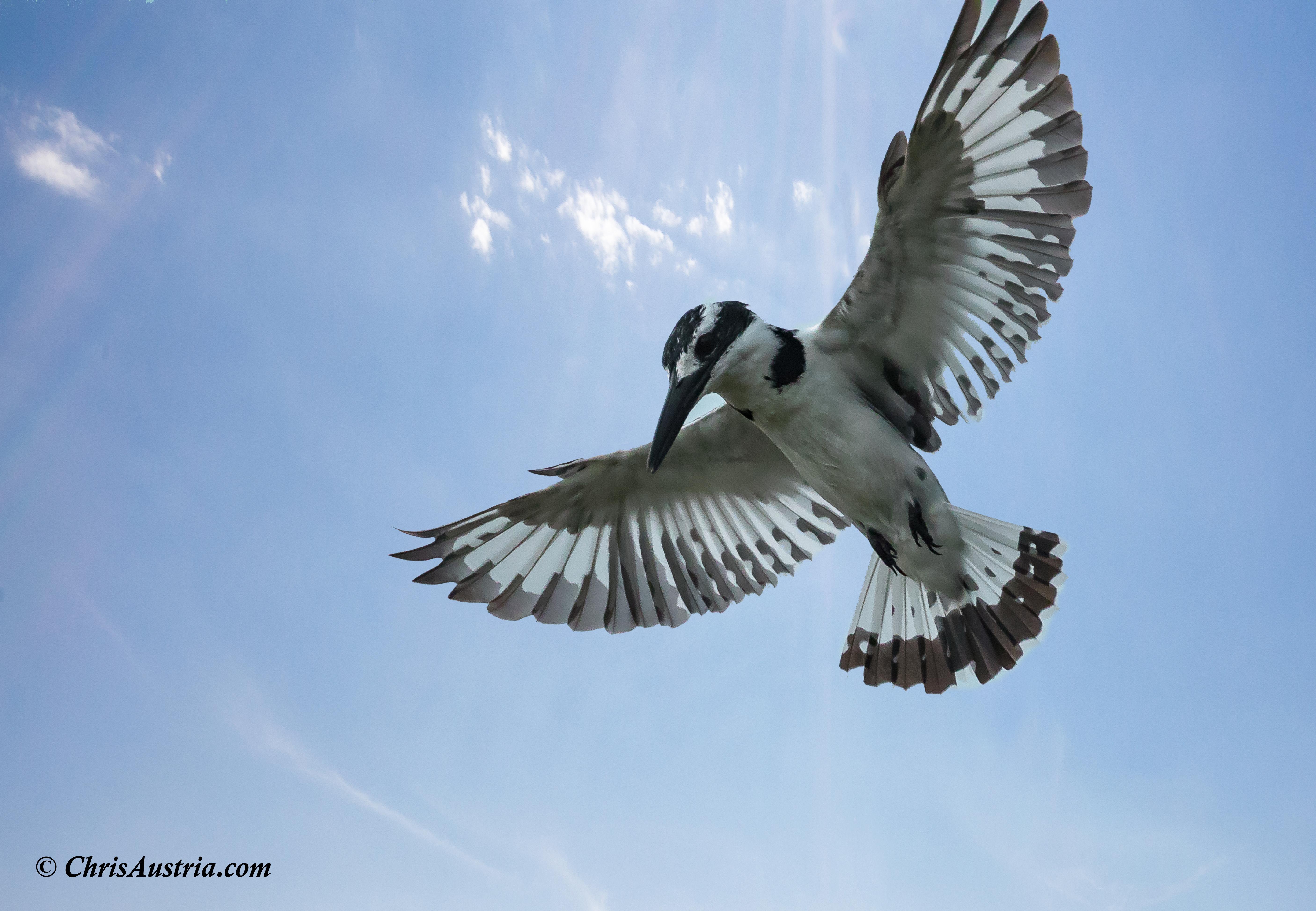 Kingfisher_Sky_wm