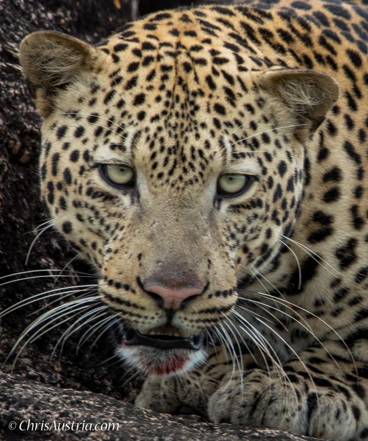 Leopard_Head_Kidepo.jpg