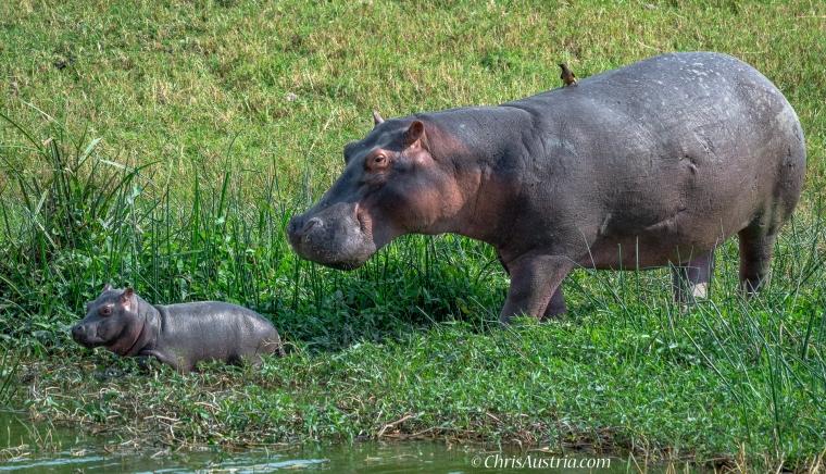 Hippo_mom_baby