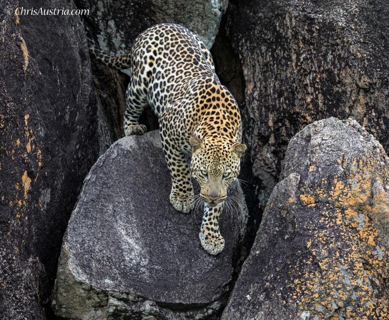 Leopard_Rock_Kidepo